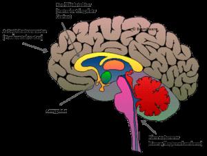 hjerne beskrivelse